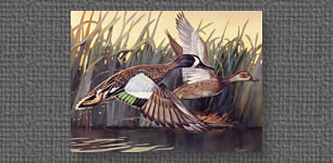 Blue winged teal - runner-up in Louisiana First of State Duck Stamp Competition