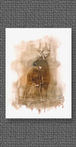 White-tailed deer study - oils
