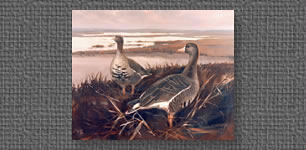Speckle-bellied geese, commissioned oil painting